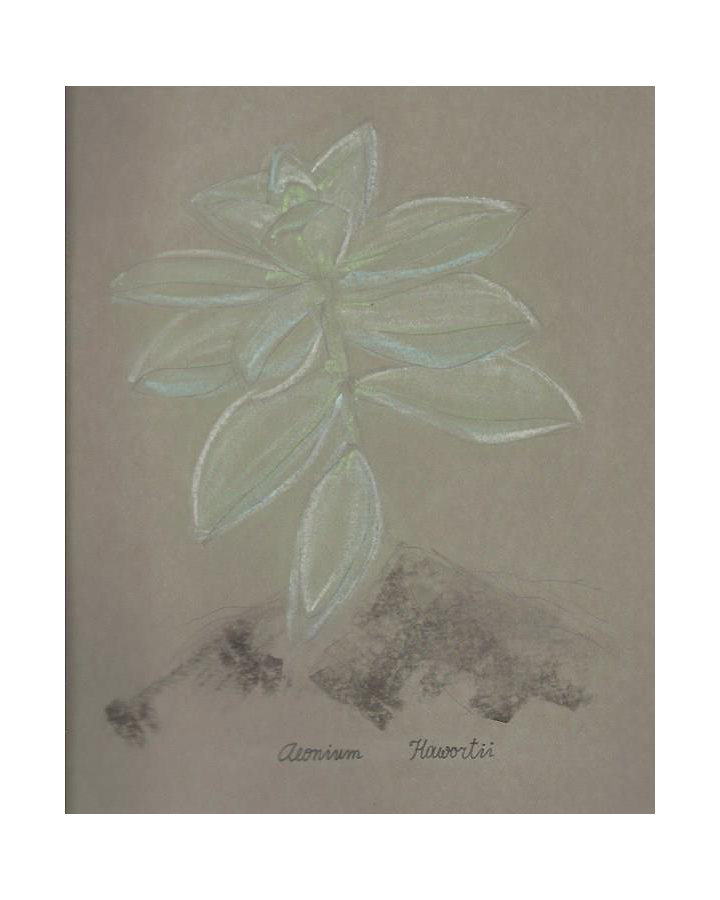 Aeonium-Hawortii-Drawing