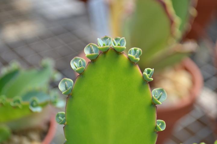 Cactus-16