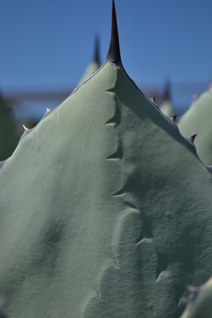 Cactus-31
