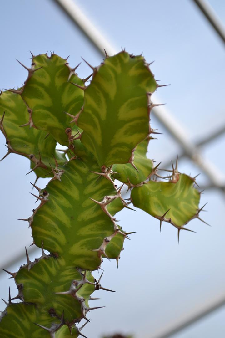 Cactus-35
