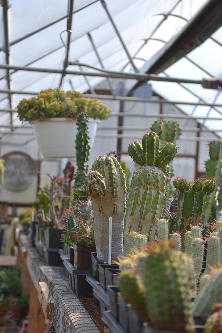 Cactus-40