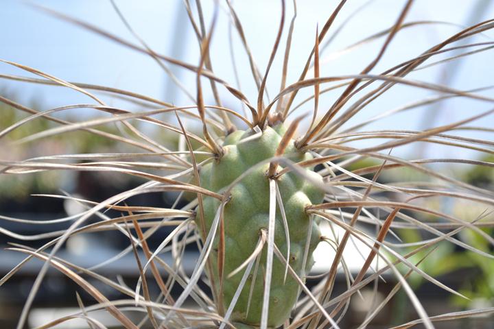 Cactus-6